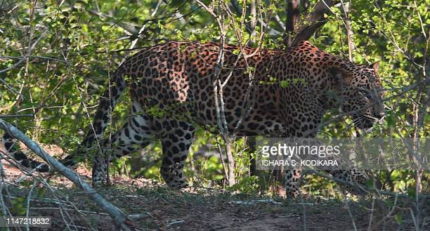 Leopard walks at the Yala National Park in the southern district of Yala some 250 kms southwest of Colombo on June 1, 2019. - Yala National Park is...