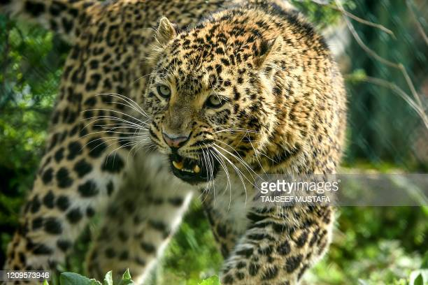 Leopard walks inside the Dachigam National Park during a government-imposed nationwide lockdown as a preventive measure against the COVID-19...