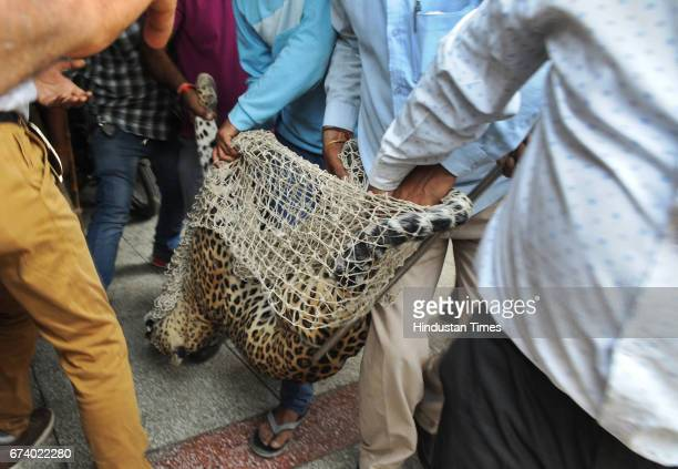 A leopard was caught after fivehour drama at Durga Colony of Sohna locality on April 27 2017 some 25 km from Gurgaon India