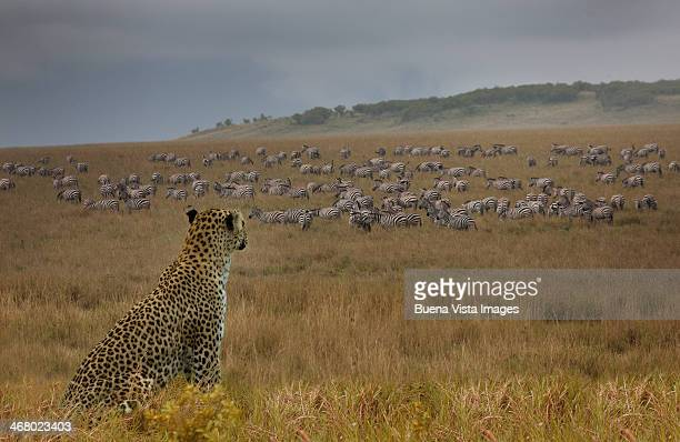 leopard (panthera pardus) watching zebras - large group of animals stock pictures, royalty-free photos & images