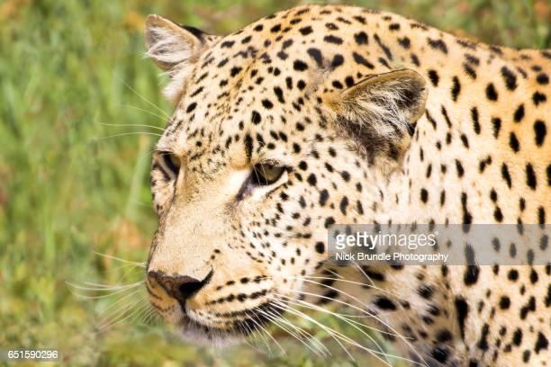 Leopard, Windhoek Rural, Khomas, Namibia