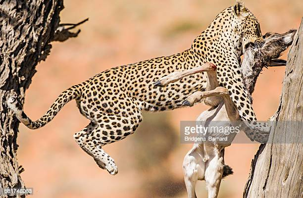 Leopard with a dead springbok in it's mouth jumping to safety, South Africa