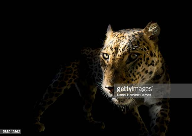 Leopard with black background. Panthera pardus