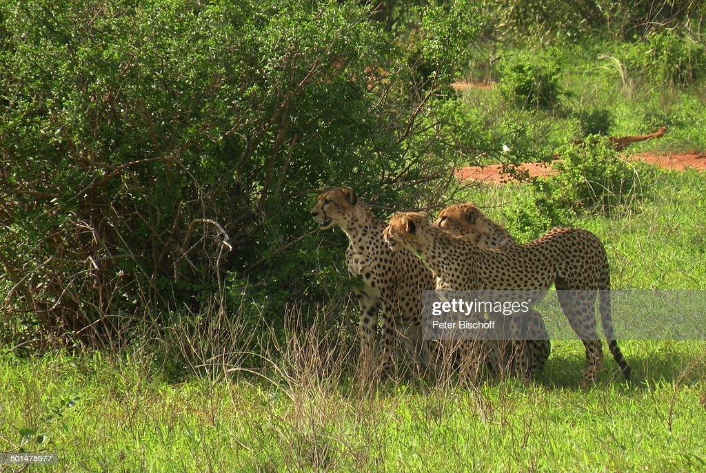 "Leoparden, ""Tsavo West Nationalpark"", Kitani-Region, zwischen Mombasa und Nairobi, K : News Photo"