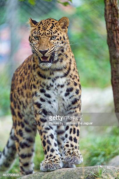 Leopardess looking a bit angry