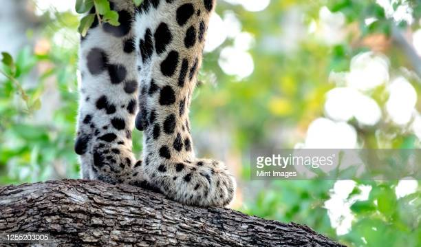a leopard's front paws, panthera pardus, on the bark of a tree - leopard stock pictures, royalty-free photos & images