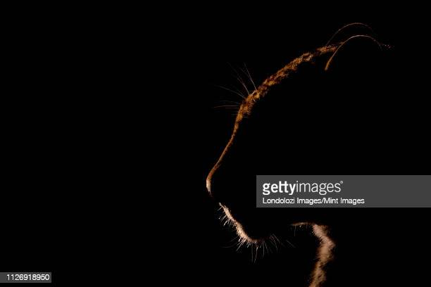 a leopard's head backlit, panthera pardus, black background - night safari stock pictures, royalty-free photos & images