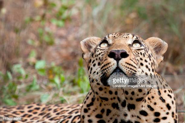 a leopard's head, panthera pardus, looking up out of frame, yellow eyes, greenery in the background - out of frame stock pictures, royalty-free photos & images