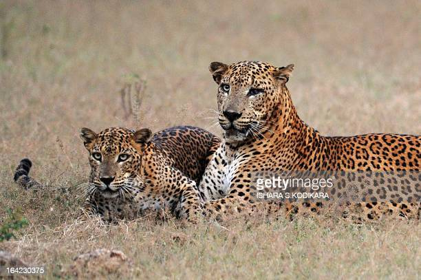 Leopards lay in the bush at Yala National Park in the southern district of Yala around 250 kms southwest of Colombo on March 21,2013. Yala National...