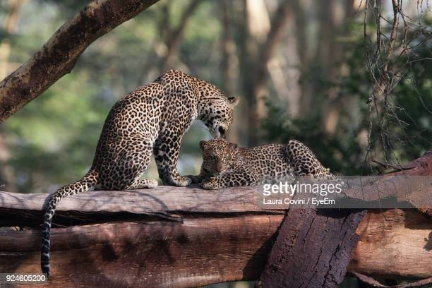 Leopards Relaxing On Tree At Zoo