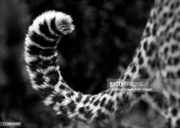 a leopard's tail, panthera pardus, curled up, dark rosettes on fur, in black and white - schwanz stock-fotos und bilder