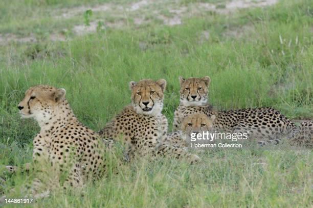 Leopards Tinga Legends Game Lodge Kruger National Park South Africa Africa