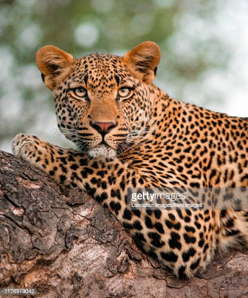 a leopard's upper body, panthera pardus, lying on tree branch, alert, green yellow eyes - leopard stock pictures, royalty-free photos & images