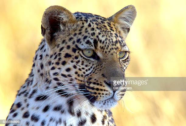 Leopard-Sub-Adult