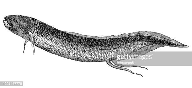 lepidosiren or mudfish. species, classification of ichthyology - elasmobranch, ganoid and osseous fishes. antique illustration, published 1894 - catfish stock pictures, royalty-free photos & images