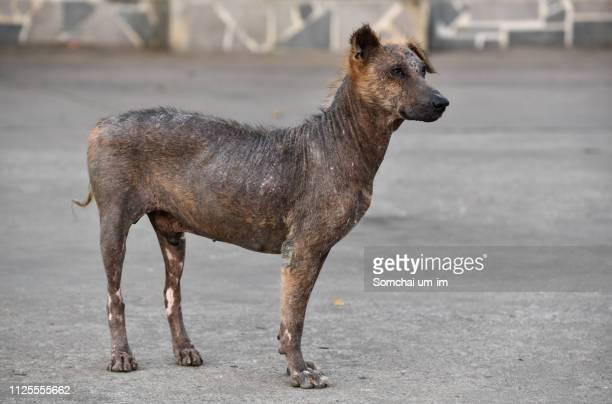 leprosy dog - um animal stockfoto's en -beelden