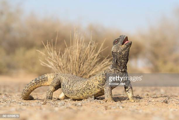 leptein's spiny-tailed lizard (uromastyx leptieni) - reptile stock pictures, royalty-free photos & images