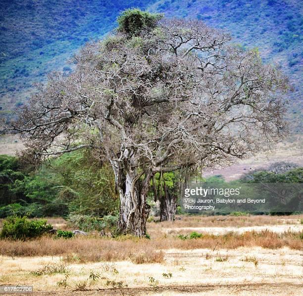 Lerai Forest Scene in Ngorongoro Crater, Tanzania