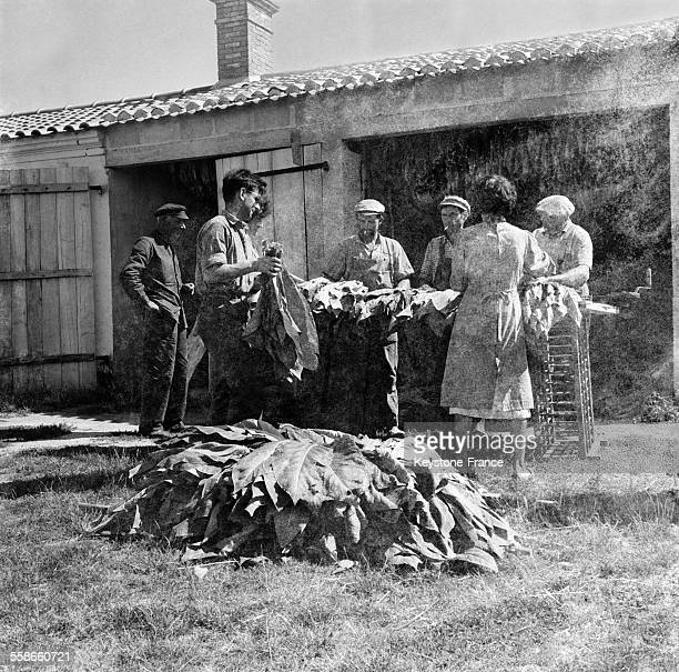 Les feuilles placées sur la ficelle spéciale prêtes à entrer dans le hangar de séchage à SaintGilles France le 19 septembre 1960