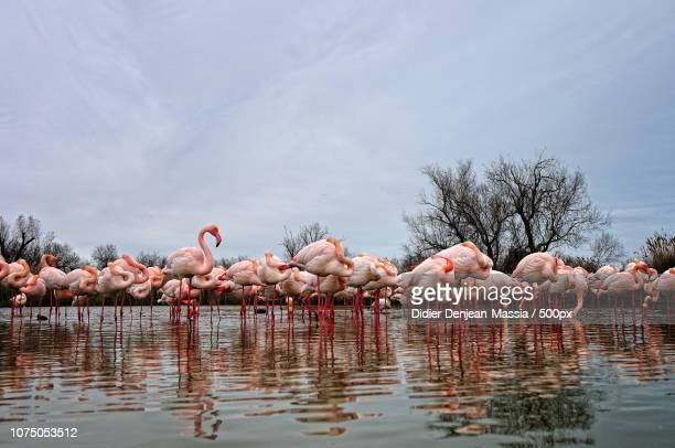 les flamants roses - freshwater bird stock photos and pictures