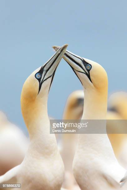 les retrouvaille. - gannet stock photos and pictures