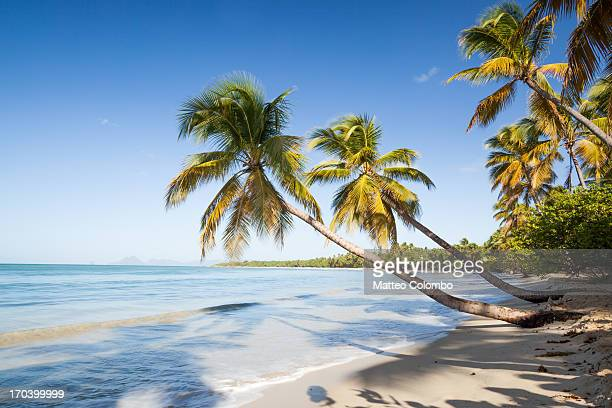 les salines beach with palm trees in martinique - martinique stock photos and pictures