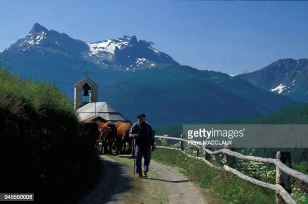 Les vaches de la famille Humbert dans le hameau de Souliers au dessus de chteau Queyras sortent au quotidien