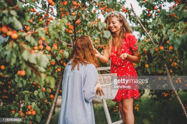 lesbian couple harvesting peach in nature - apricot tree stock pictures, royalty-free photos & images