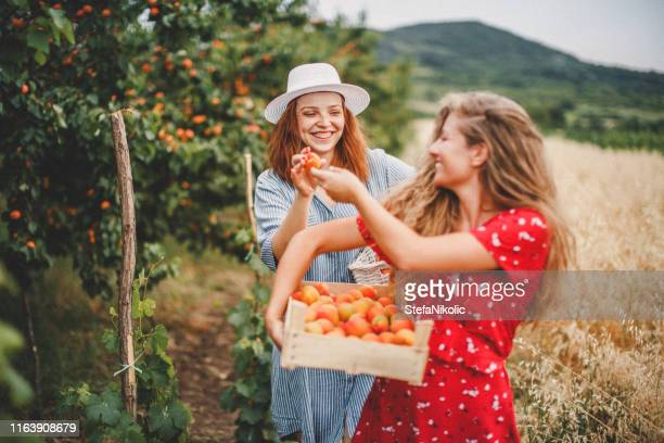 lesbian couple harvesting peach in nature - peach tree stock pictures, royalty-free photos & images