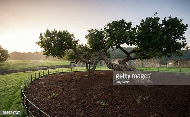 lesnes abbey mulberry tree - mulberry tree stock pictures, royalty-free photos & images