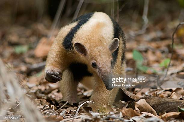 lesser anteater - anteater stock pictures, royalty-free photos & images