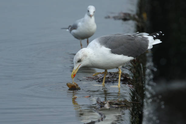 A Lesser black-backed Gull, Larus fuscus, eating a Crayfish on top of a weir.