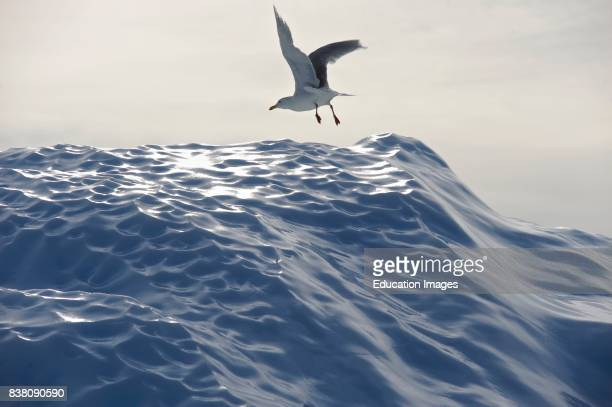 Lesser Blackbacked Gull taking flight from an iceberg near Ilulissat in West Greenland The gull is a common migratory bird to the Disko bay area and...