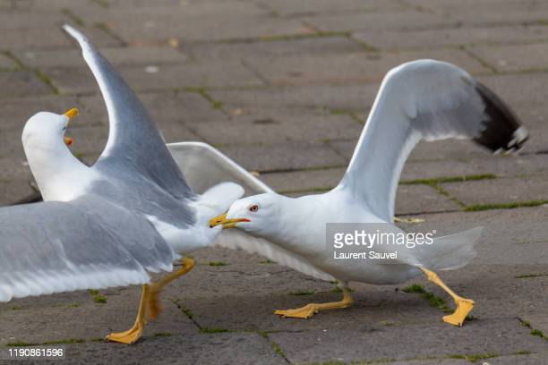 lesser black-backed gulls fighting in a venice street - laurent sauvel photos et images de collection