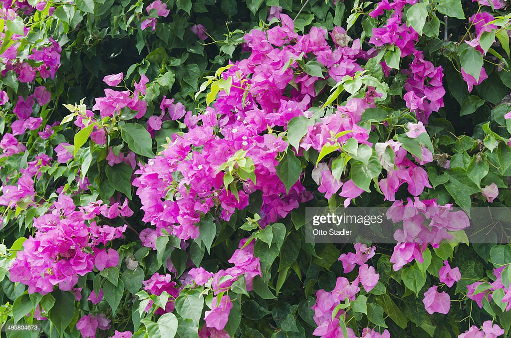 Lesser bougainvillea or paper flower bougainvillea glabra flowers ko lesser bougainvillea or paper flower bougainvillea glabra flowers ko samui thailand mightylinksfo