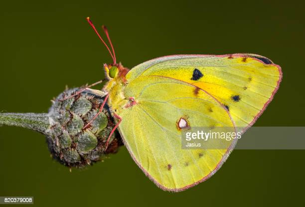 Lesser Clouded Yellow butterfly