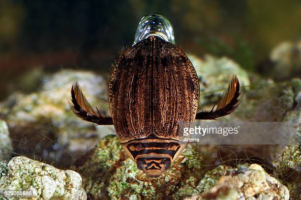 Lesser diving beetle / Grooved diving beetle swimming underwater and carries air bubble between body and wing cases for breathing