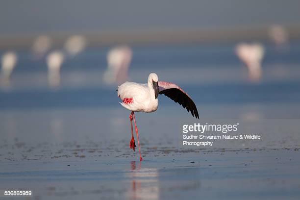 Lesser Flamingo - Little Rann of Kutch