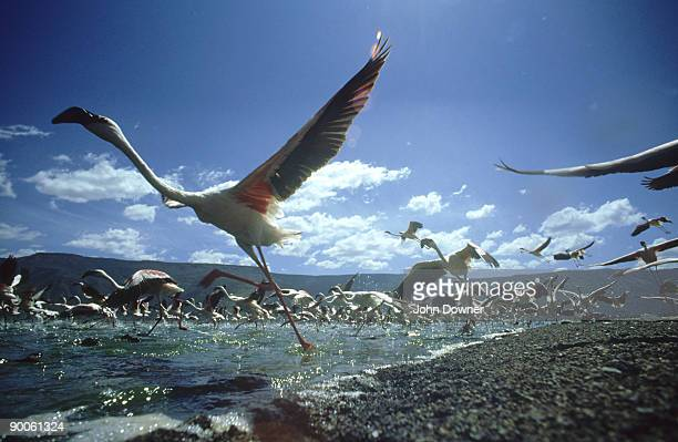 lesser flamingo: phoeniconaias minor  africa