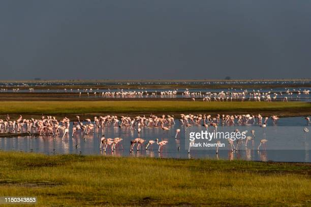 lesser flamingo - kenya newman stock pictures, royalty-free photos & images