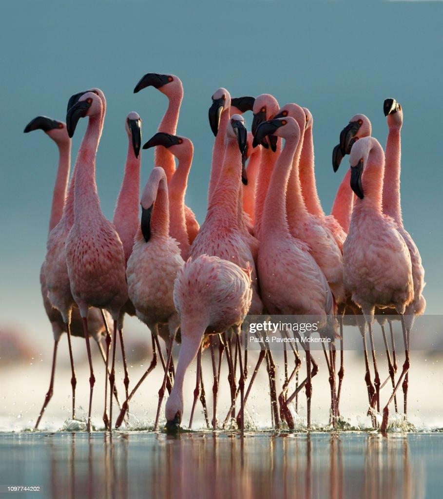 Lesser Flamingo pre-breeding communal display : Foto de stock