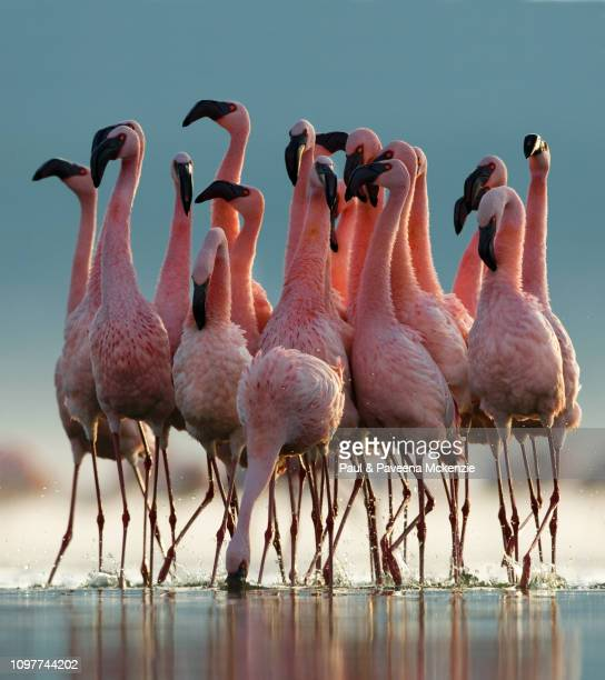 lesser flamingo pre-breeding communal display - lake nakuru stock photos and pictures