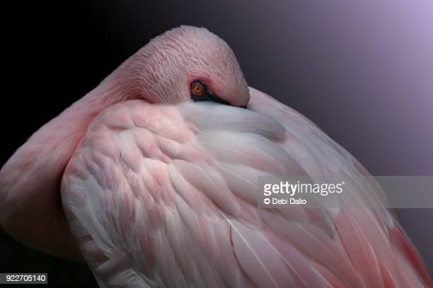 Lesser Flamingo Resting