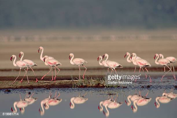Lesser Flamingoes and Reflections in Lake