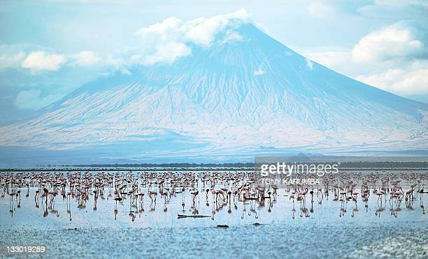 Lesser flamingoes are pictured on September 30 2011 at the Lake Natron at the foot of Ol Doinyo Lengai Salmoncoloured clouds of flamingoes sweeping...