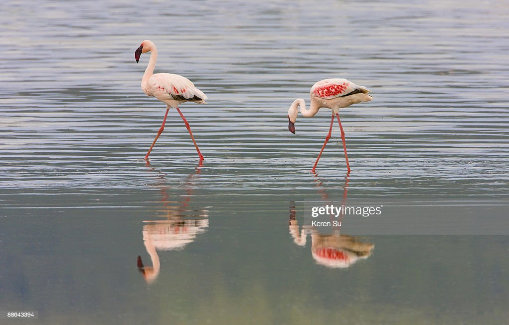 Lesser Flamingoes with reflection in water : Foto de stock