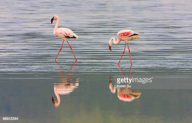 lesser flamingoes with reflection in water - lake nakuru stock photos and pictures