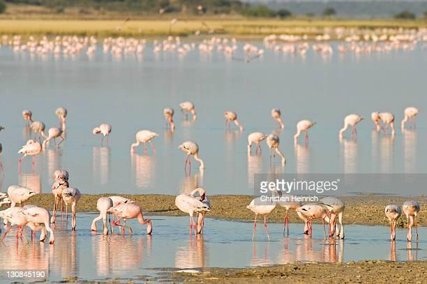 Lesser Flamingos (Phoenicopterus minor) at a lagoon, Etosha National Park, Namibia, Africa