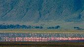 lesser flamingos phoenicopterus minor feeding crater