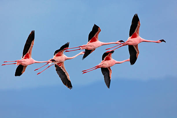 Lesser Flamingos In Flight Wall Art